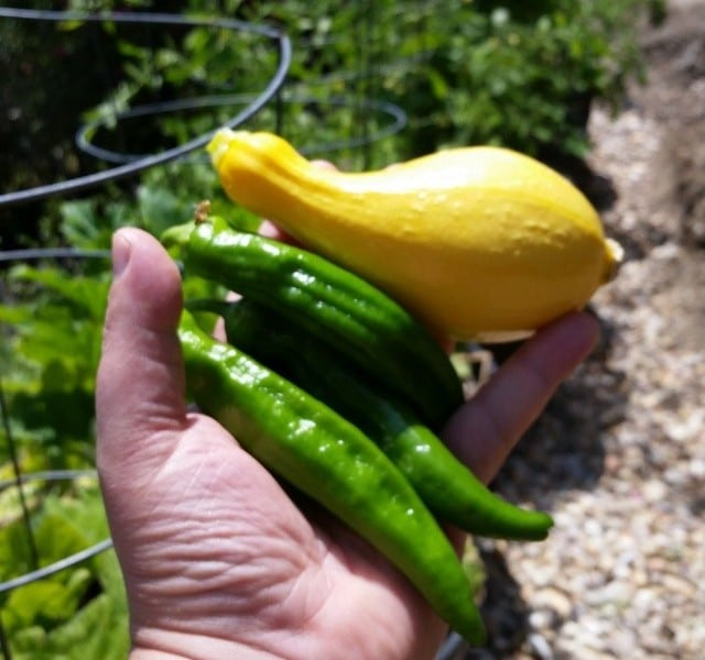 We've got all kinds of peppers and squash coming out of the garden already, and lotsa fruit on the tomatoes but nothing ripe there yet.
